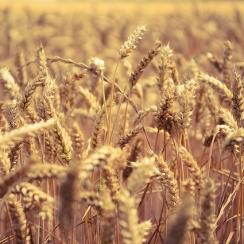 Photo d'un champs de blé avec une niveau du haut des épis