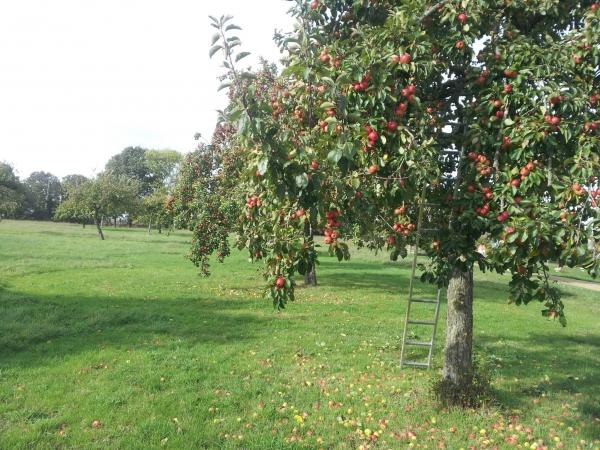 Pommier cultivé