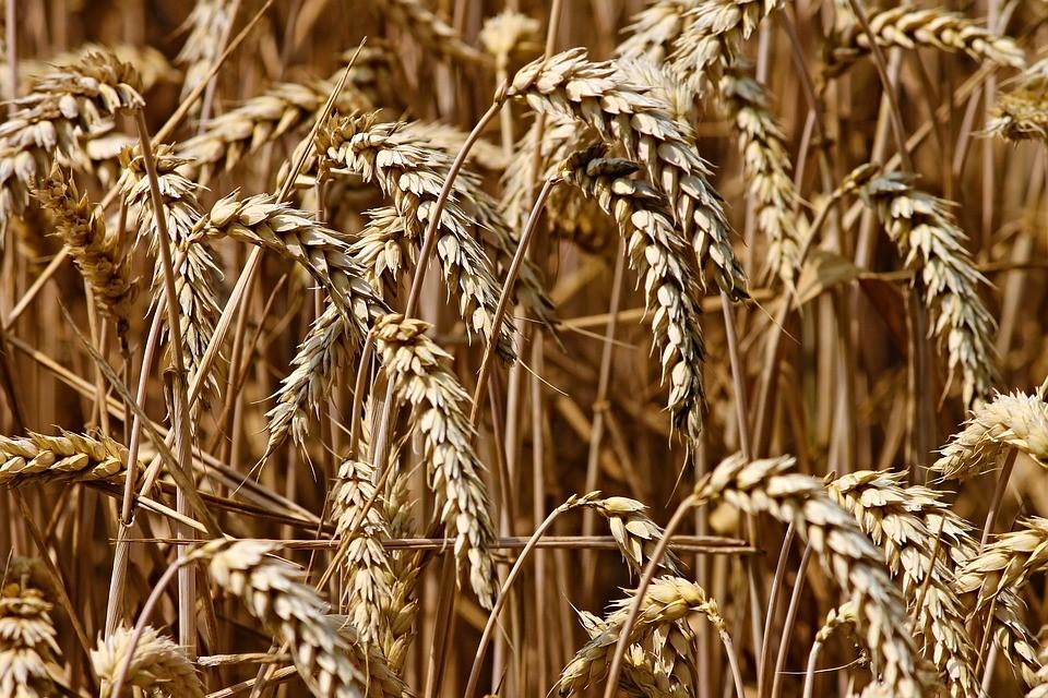 Les céréales, à l'origine de l'impôt
