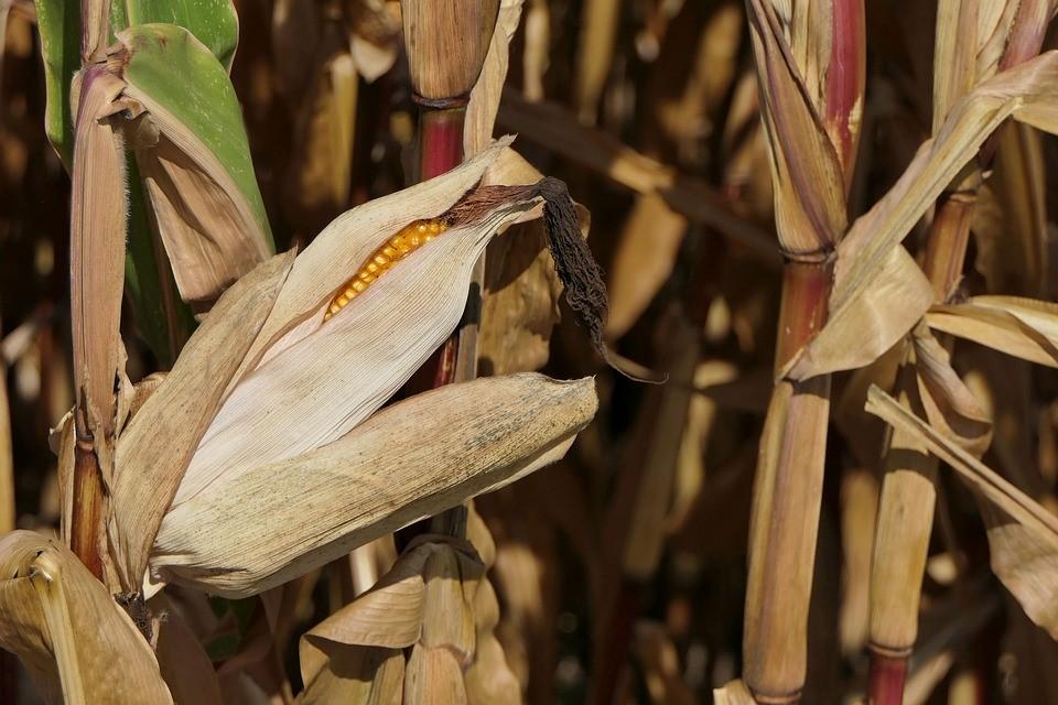 Le maïs à la conquête du monde